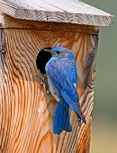 picture of bluebird  - A male Mountain Bluebird feeds its young that call from a nestbox near the Waterton Lakes National Park in southern Alberta - JPG