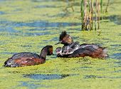 pic of grebe  - On a small marsh in the Alberta prairies Eared Grebe parents care for their fast growing chicks - JPG