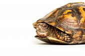 stock photo of terrapin turtle  - Eastern box turtle sitting on white background - JPG