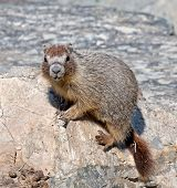 picture of marmot  - A Yellow - JPG