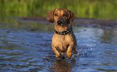 stock photo of moosehead  - Dachshund runs through the shallows - JPG