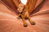pic of coyote  - golden color dog laying in Coyote Butte - JPG