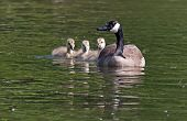 picture of baby goose  - A Canadian goose swimming with her goslings.