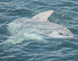 picture of mola  - A giant Mola Mola also known as a sunfish