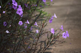 stock photo of tuberose  - The ruellia tuberose are growing on the footpath - JPG