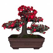 stock photo of bonsai  - Satsuki azalea tree bonsai isolated in white background  - JPG