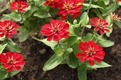 picture of zinnias  - the red zinnia flower in the gardein - JPG