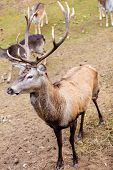 picture of jousting  - Majestic powerful adult male red deer stag on meadow - JPG