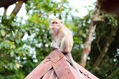 pic of baby-monkey  - a baby monkey waiting for food on rooftops - JPG