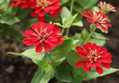 pic of zinnias  - the red zinnia flower in the gardein - JPG
