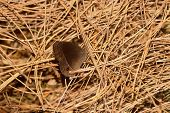 picture of pine-needle  - a tiny brown butterfly camouflaged on a stack of pine needles - JPG