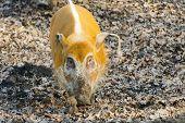 picture of wild hog  - Red river hog  - JPG