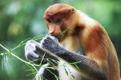 stock photo of southeast asian  - Proboscis Monkeys Nasalis larvatus or long - JPG