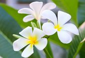 stock photo of frangipani  - Frangipani Spa Plumeria Flowers - JPG