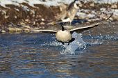 image of snow goose  - Canada Goose Taking Off From a Winter River - JPG