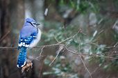 stock photo of blue jay  - A puffed up blue jay sits on a branch of a tree in a forest during a snowy day in Ontario Canada - JPG