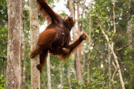 image of orangutan  - Lovely Orangutan family in Borneo forest Indonesia - JPG