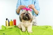 stock photo of barbershop  - Cute Shih Tzu and hairdresser in barbershop isolated on white - JPG