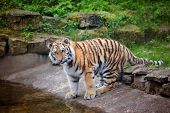 picture of tiger cub  - young amur tiger cub portrait in the zoo - JPG