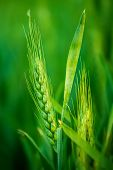 stock photo of cultivation  - Green Wheat Head in Cultivated Agricultural Field Early Stage of Farming Plant Development Selective Focus with Shallow Depth of Field - JPG
