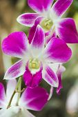 stock photo of violet  - Beautiful orchids flowers Close-up of bright violet orchids violet pink orchid close up in nature background. ** Note: Soft Focus at 100%, best at smaller sizes - JPG