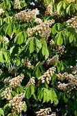 pic of kiev  - Blooming chestnut branch in springtime - JPG