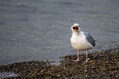 stock photo of swallow  - Seagull swallowing a starfish that he recently caught - JPG