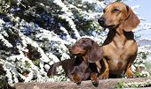 stock photo of dachshund dog  - dachshund chocolate puppy and red dog dachshund  - JPG