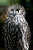 Barking Owl poster