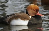 Red Crested Pochard