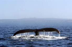picture of whale-tail  - humpback whale off the coast of newfoundland - JPG