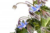 foto of borage  - Close up view of the Borage Flower  - JPG