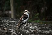 stock photo of blue winged kookaburra  - The Laughing Kookaburr on a tree - JPG