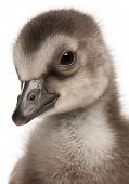 Close-up of Hawaiian Goose, Branta sandvicensis, a species of goose, 4 days old, in front of white b