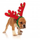 side view of a cute english bulldog puppy wearing reindeer headband with horns and looks away on whi poster