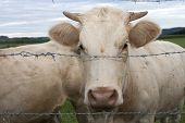 pic of charolais  - White charolais cattle behind barbed wire in france - JPG