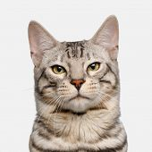 Snow Bengal Cat On White Background poster