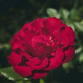 Red Rose. Beautiful Rose. Rose Style. Rose Background. Red Flower. Grunge Rose. poster
