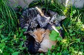 Kittens And A Cat Are Lying On The Grass. Gray Cat Feeds Her Cute Kittens poster