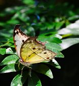 pic of cocoon tree  - Rare African Salamis parhassus butterfly on a plant - JPG
