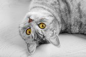 Fluffy Gray Beautiful Adult Cat, Breed Scottish, Close Portrait On White Background With Beautiful E poster
