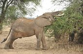 foto of veld  - Elephant in Serengeti national park Tanzania Africa - JPG