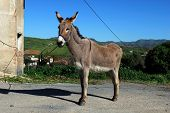 Tethered donkey, Andalusia, Spain.