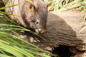 stock photo of wombat  - Wombat in Nature seen in Australia  - JPG