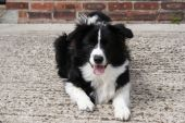 stock photo of collier  - Photograph of a black and white Border Collier puppy - JPG