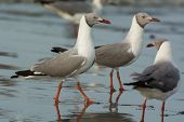 Grey Headed Gulls