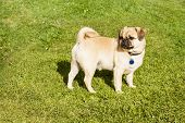 image of minion  - Dog Pug on green grass in a park - JPG