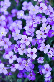 image of violet flower  - violet flowers in the garden with green leaves - JPG