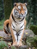 picture of tiger eye  - A portrait of a tiger sitting on a rock - JPG