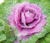 Purple Decorative Cabbage